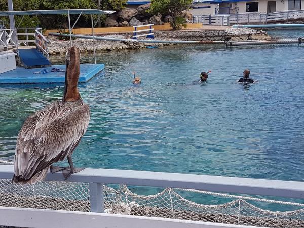 En de pelikaan kijkt geduldig toe of er nog een visje voor hem in zit.